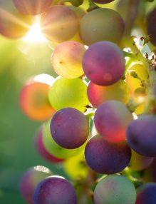 ciorchine de struguri, fructe in soare, ciorcine in soare