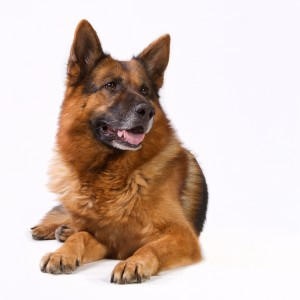 Mature german shepherd isolated on white