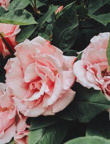 dulceata de trandafiri, trandafiri roz, trandafiri de dulceata