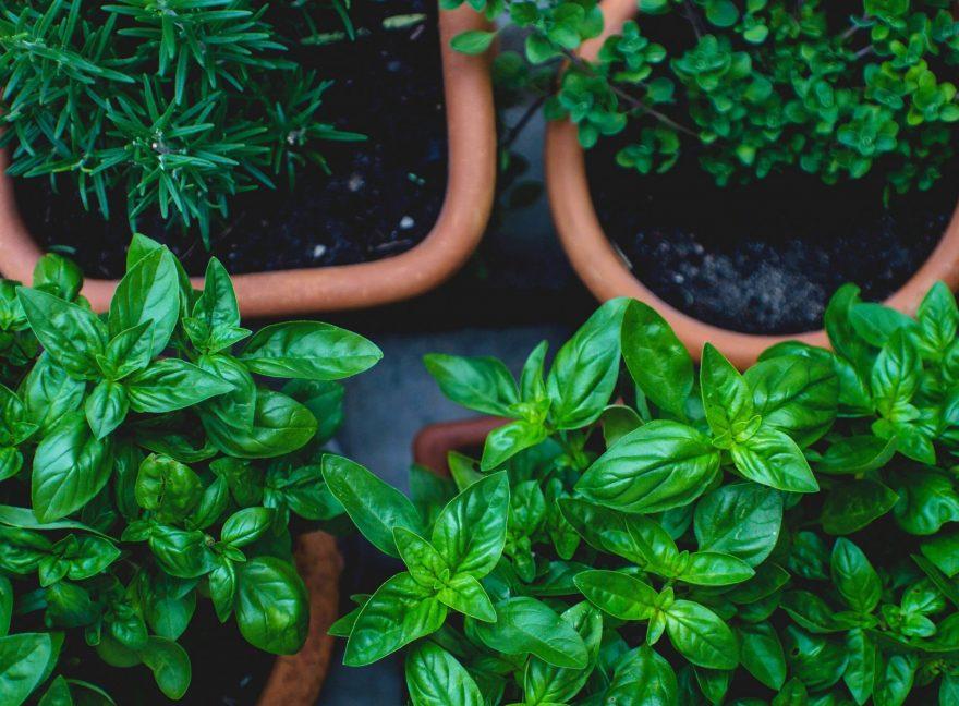 Verdeturi, menta, cimpbru, plante aromatice in ghivece